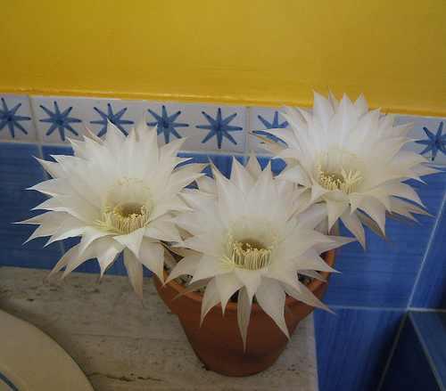 Para Disfrutar Mas Tiempo La Flor Nocturna De Echinopsis