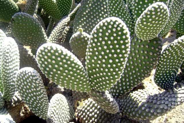 Opuntia microdasys todo un rompecabezas for Cactus variedades fotos