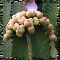 Las Euphorbias