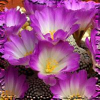 Mammillarias