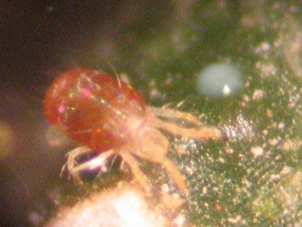 Araña Roja, ejemplar adulto.