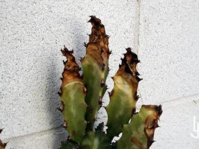 Euphorbia con daños por frío.