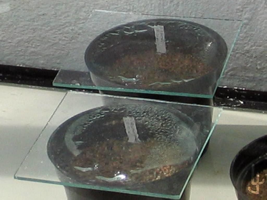 Semilleros en maceta cubiertos con cristal.