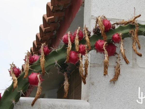 Frutos de Harrisia pomanensis
