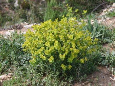 Lechetreznas silvestres, un amplio grupo de Euphorbias.
