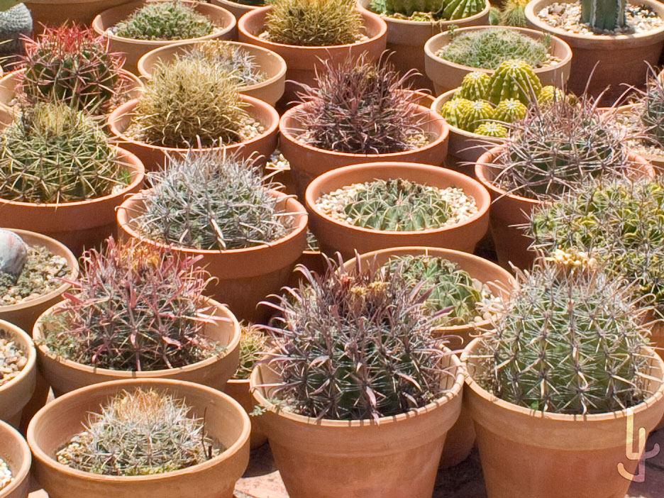 Cactus plantados en barro.