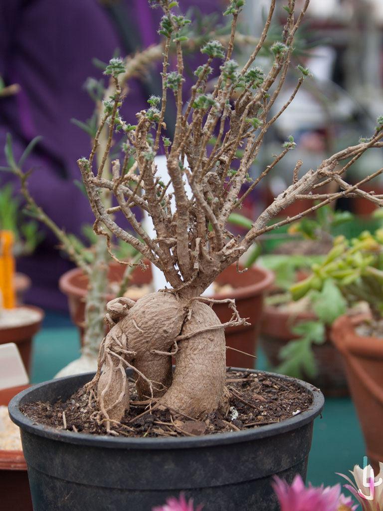 XII Congreso Cheste Cactus y Suculentas.  Alguno de los interesantes ejemplares disponibles.
