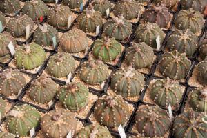 Cactus en macetas cuadradas.