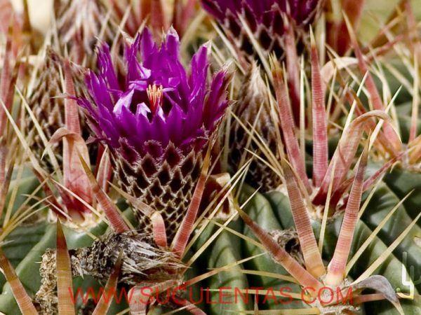 Flor de Ferocactus latispinus.