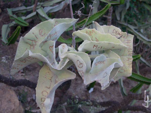 kalanchoe beharensis mutilado por un impresentable.