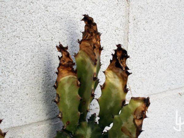 Euphorbia con graves quemaduras por frío en las zonas de crecimiento reciente.